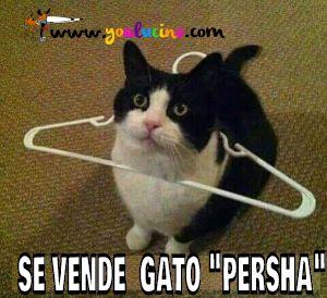 Gato Persha
