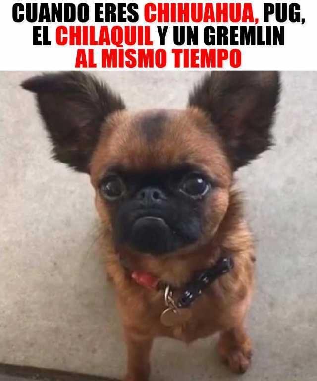 Chihuahua Pug Gremlin